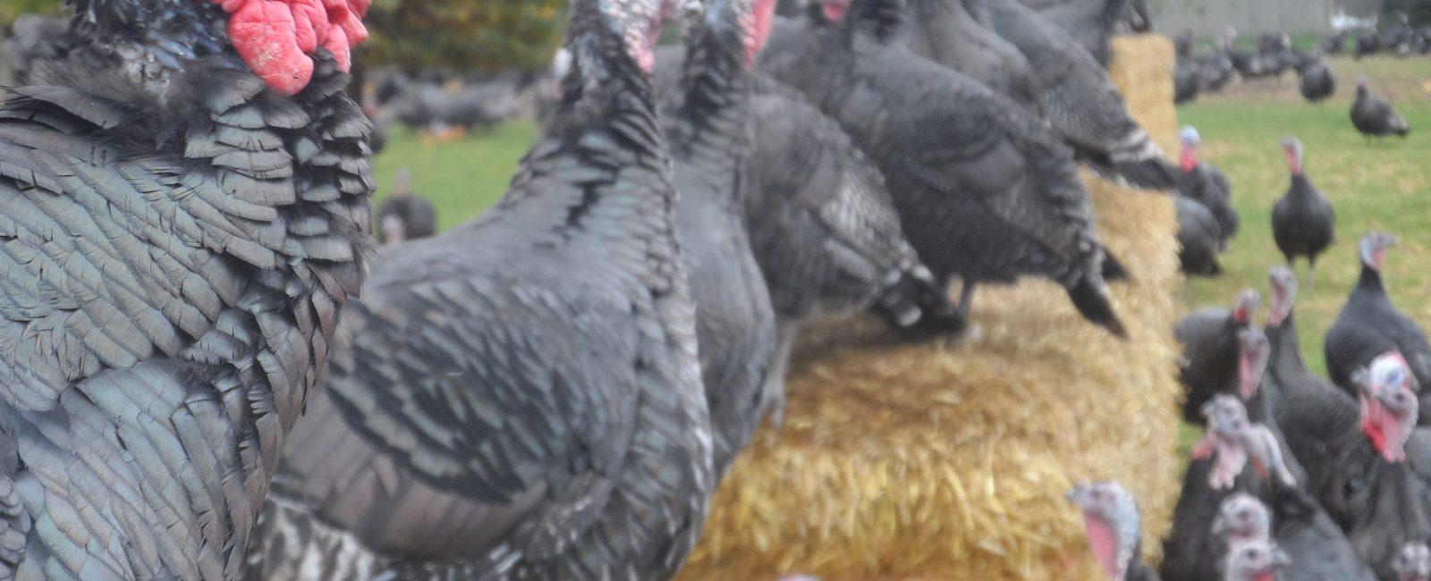 free-range-christmas-turkeys-peachcroft-farm